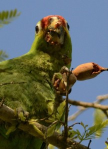 Red-lored Parrot lords over tamarind seeds